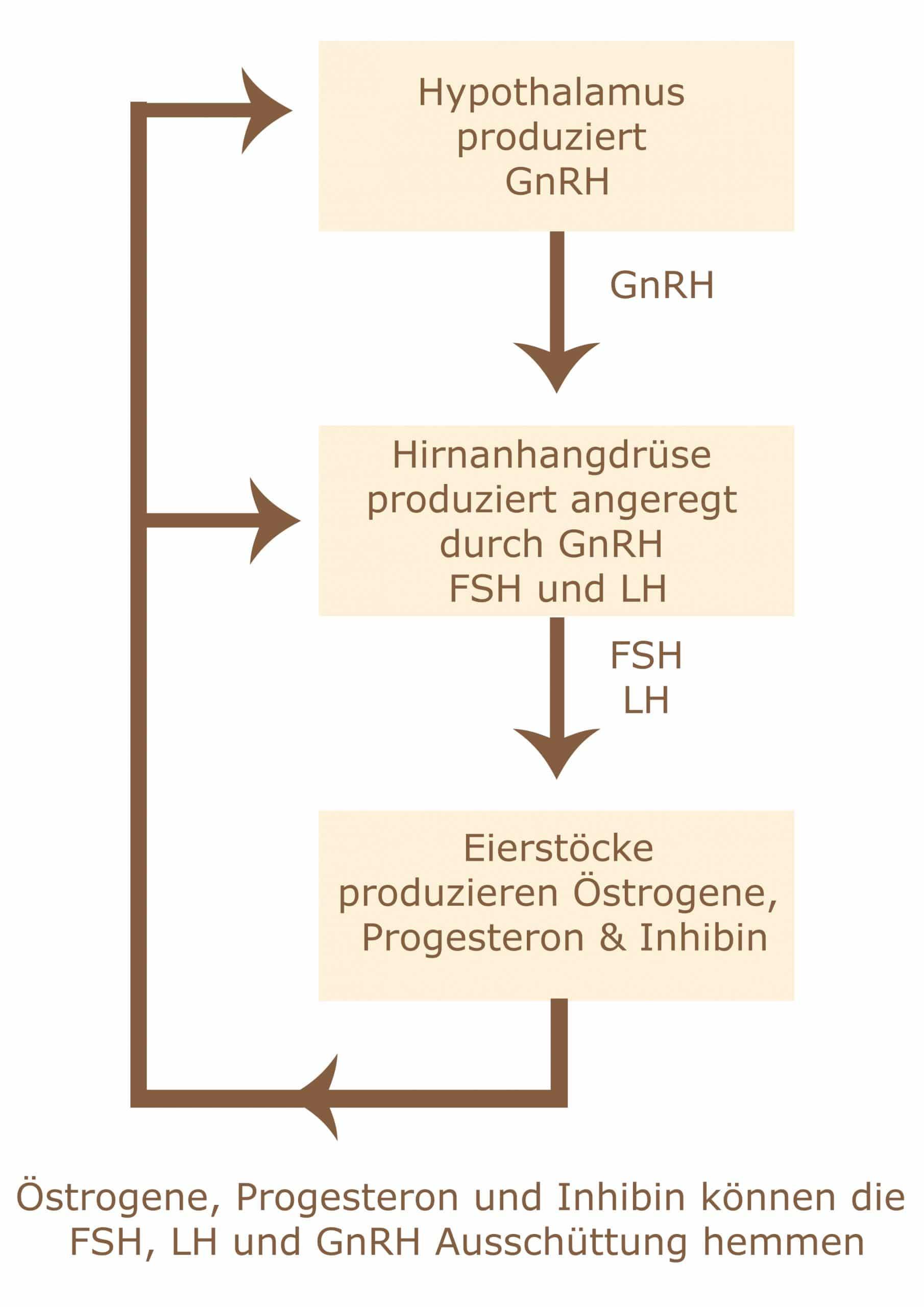hormonregulation scaled - Läufigkeit und Hitze der Hündin
