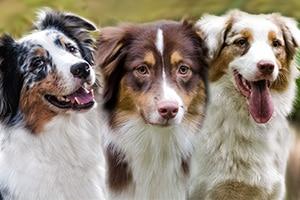 Menüpunkt für Australian Shepherd Hündinnen